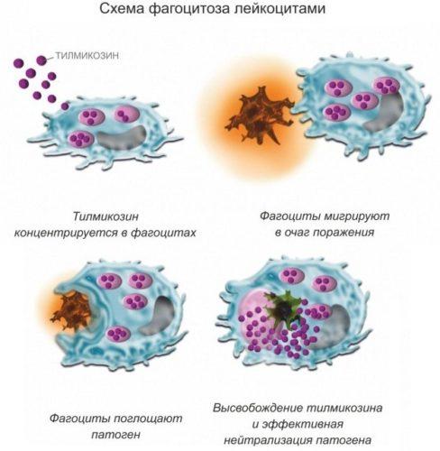 shema fagocitoza